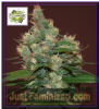 Cream of the Crop Sour turbo Diesel Fem 10 Seeds